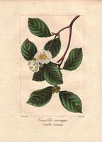 Small white camellias