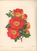 Red and orange Austrian copper roses