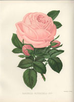 Baroness Rothschild pink rose