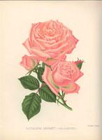Pale pink Catherine Mermet roses