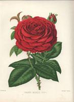 Crimson Grand Mogul rose