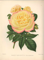 Pink-tinged yellow rose, Marie van Houtte