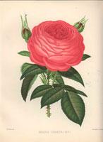 Deep pink Magna Charta rose