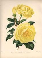 Yellow rose, Perle des Jardins