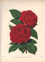 Crimson Duchess of Bedford rose