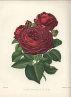 Frosted crimson Louis van Houtte rose