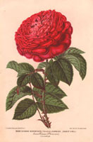 Large crimson rose, Journeaux
