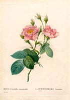 Fluffy pink rose, centifolia