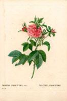 Pink agatha roses
