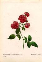 Dark crimson Bengal roses