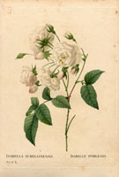 Group of white roses, Isabelle d'Orleans
