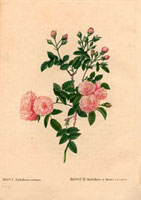Small dusty pink roses