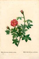 Scarlet musk rose
