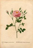 Deep pink rubiginosa rose