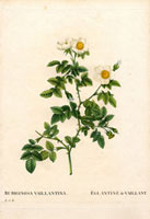 Small white and yellow rubiginosa rose