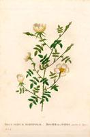 White sepium roses