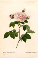Royal white rose, large pink-tinged rose