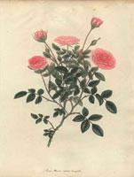Small dwarf crimson roses