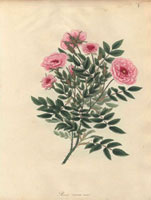 Small dwarf pink roses