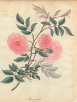 Large pink slender rose