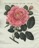 Huge pink damask rose