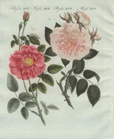Pink French rose and pale pink rose