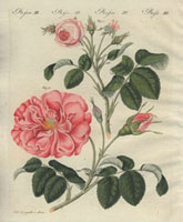 Small pink roses and large pink French rose