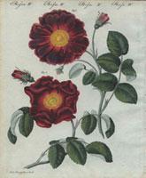 Large purple velvet roses