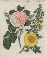Pink damask rose and yellow rose