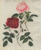 Pink and scarlet everlasting roses