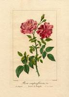 Scarlet Bengal rose