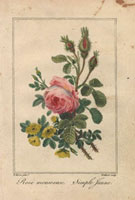 Pink moss rose and yellow rose