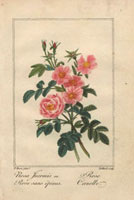 Canelle rose and inermis rose