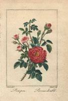 Pink pompon roses and crimson Provins rose