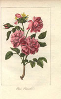Large pink and scarlet rose