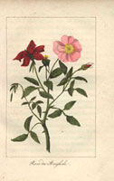 Scarlet and pink Bengal roses