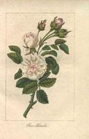 White fluffy roses