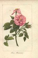 Large pink musk rose