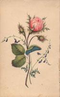 Pink musk rose with rosebuds