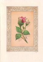Scarlet moss rosebud