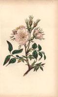 Pale pink dog rose
