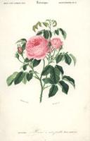 Pink rose centifolia