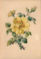 Yellow bramble rose