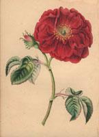 Large fluffy scarlet damask rose
