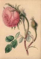 Large pink moss rose
