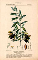 Olive branch with green and black olives