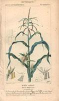 Corn plant, maize