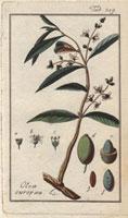 Green olives, flowers, olive seeds