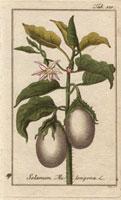 Round eggplant or aubergine, white flowers