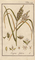 Ripe ear of golden rice, green rice, seeds
